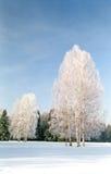 Bouleaux de Hoarfrosted sur la zone de neige Images libres de droits