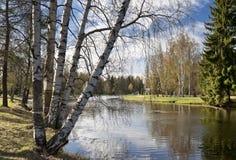 Bouleaux de source à côté de l'étang Photographie stock libre de droits