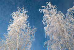Bouleaux en hiver Images libres de droits