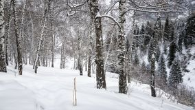Bouleaux et neige Image libre de droits