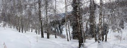 Bouleaux et neige Images stock
