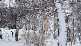 Bouleaux et neige Images libres de droits
