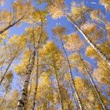 Bouleaux jaunes Photo libre de droits