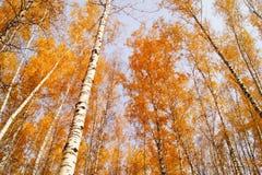 Bouleaux jaunes d'automne Photos stock