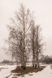 Bouleaux lettons en hiver Images stock