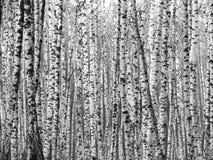 Bouleaux noirs et blancs Image stock