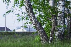 Bouleaux russes Photographie stock libre de droits