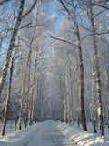Bouleaux sibériens Photo stock