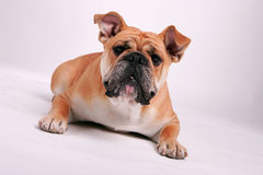 Bouledogue Image stock