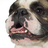 Bouledogue anglais (3 ans) Photo stock