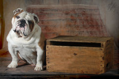 Bouledogue anglais Photographie stock
