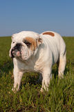 Bouledogue anglais Photos stock