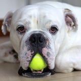 Bouledogue anglais avec la bille de tennis Photo libre de droits