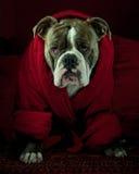 Bouledogue avec un manteau de matin rouge Images libres de droits