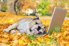 Bouledogue avec un ordinateur portatif en automne Photo stock