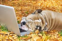 Bouledogue avec un ordinateur portatif en automne Photo libre de droits