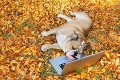 Bouledogue avec un ordinateur portatif en automne Photographie stock libre de droits
