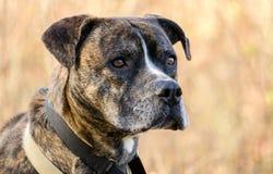 Bouledogue bringé de mastiff de boxeur Photos libres de droits