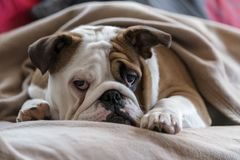 Bouledogue britannique Photo stock