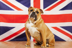 Bouledogue britannique Image stock
