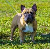 Bouledogue de chien Le bouledogue de race de chien Images libres de droits