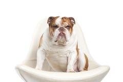 Bouledogue de l'anglais de race de chien Image libre de droits