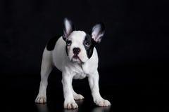 Bouledogue de race de Français de chien sur le fond noir Images libres de droits
