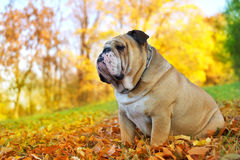 Bouledogue en automne Photo libre de droits