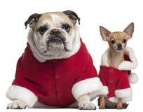 Bouledogue et chiwawa anglais dans des équipements de Santa Photos stock