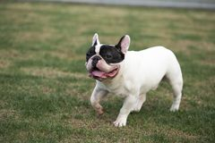 Bouledogue français photo stock