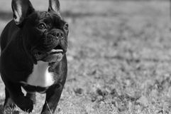 Bouledogue français Photos stock