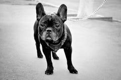 Bouledogue français de chien sur la rue Photographie stock