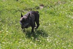 Bouledogue français de race de chien Images stock