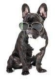 Bouledogue français de race de chien Photos stock