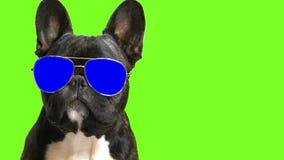 Bouledogue français de race de chien banque de vidéos