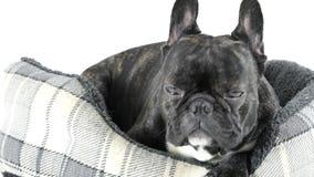 Bouledogue français dormant dans le lit banque de vidéos