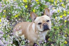 Bouledogue français en fleur en Californie du nord Photographie stock