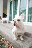 Bouledogue français se reposant ou chien inconscient Images stock