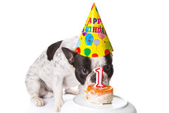 Bouledogue français sur son premier anniversaire. Photo stock