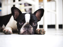 bouledogue francuz Obraz Royalty Free