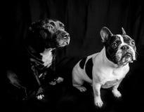 Bouledogue och staffy Fotografering för Bildbyråer