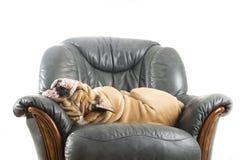 Bouledogue paresseux heureux de crabot sur un sofa Photographie stock libre de droits