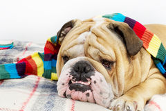 Bouledogue sur un plaid Images libres de droits
