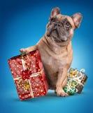 Bouledogues français avec des cadeaux de Noël Image stock