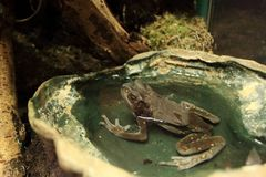 Boulenger亚洲雨蛙 库存照片