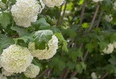 Boules énormes blanches des inflorescences du plan rapproché de jardin de Viburnum photographie stock