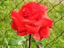 Boules de l'eau de Rose photos libres de droits