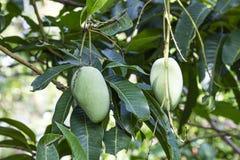 Boules de mangue mûres dans le jardin développé avec des méthodes organiques photo stock