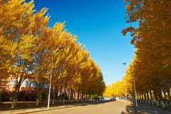 The boulevard with golden white poplar Royalty Free Stock Photos