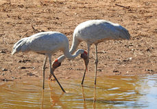 Boulia. The Burke river at  boulia.Queensland birds brolga feeding Royalty Free Stock Image